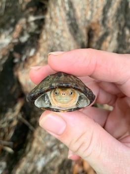 Red Cheek Mud Turtle
