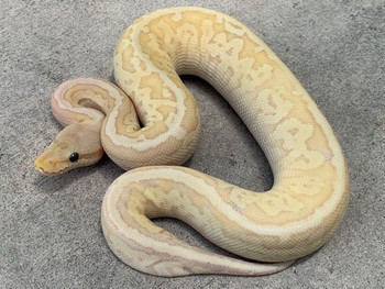 Coral Glow Lesser Pinstripe Ball Python for sale | Snakes at sunset