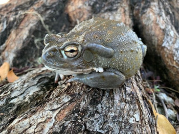Colorado River Toads for sale