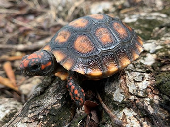 Cherry Head Red Foot Tortoise for sale (Chelonoidis carbonaria) BABY