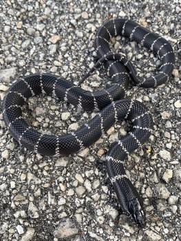 "Brawley ""Yuma"" California King Snakes"