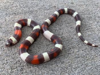 Hypomelanistic Pueblan Milk Snakes for sale