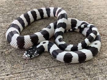 50/50 California King Snakes for sale