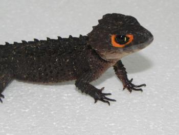 Red Eye Crocodile Skink (Tribolonotus gracilis)Sub Adult/Adult REGROWN TAILS