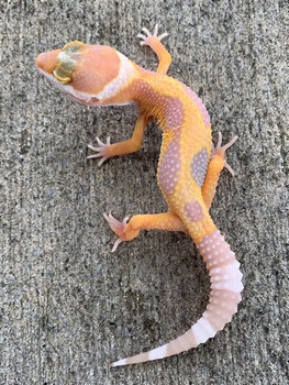 Albino  Jungle Leopard Gecko for sale at Snakes at Sunset