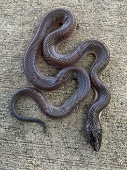 New World Python for sale (Loxocemus bicolor)