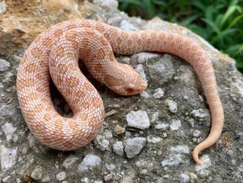 Toffee Glow Western Hognose Snakes (Heterodon nasicus)