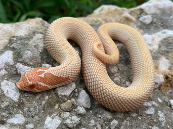 Albino Super Anaconda Hognose for sale