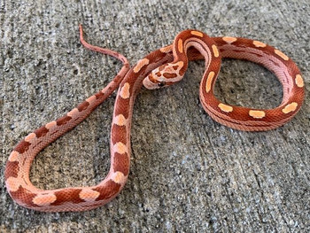 Hypo Motley Corn Snake for sale | Snakes at Sunset
