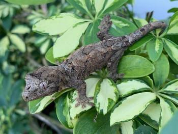 Chahoua Geckos for sale