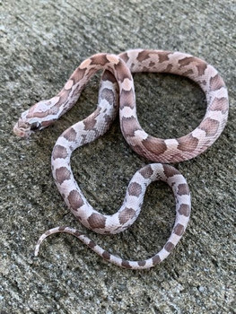 Orchid Corn Snake for sale