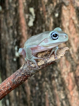 Blue Eye Whites Tree Frog (Blue Eye Dumpy) for sale