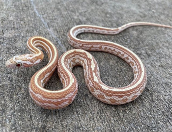 Gold Dust Tessera Corn Snake for sale | Snakes at Sunset