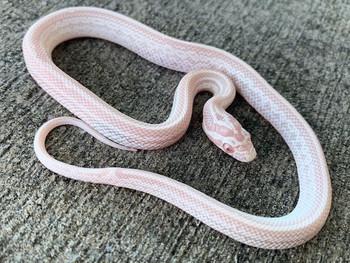 Snow Tessera Corn Snake for sale   Snakes at Sunset