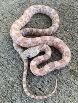 Shatter Corn SNake for sale
