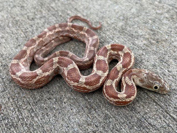Rusty Texas Rat Snake for sale