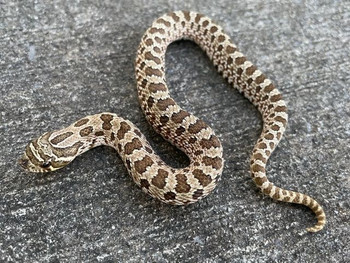 Artic Hognose snake for sale