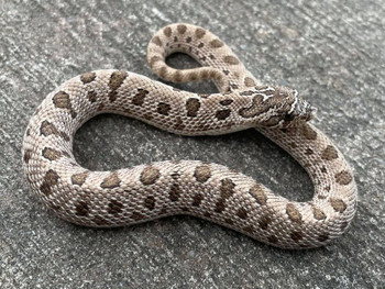 Artic Anaconda Hognose snake for sale