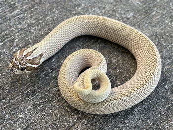 Artic Super Anaconda Hognose snake for sale