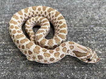 Green Phase Western hognose snakes for sale