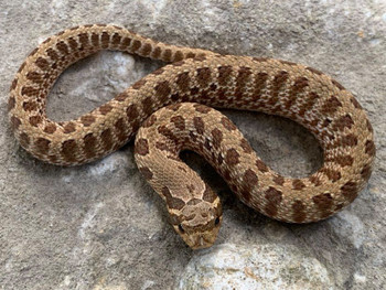 Tiger Western Hognose Snake for sale | Snakes at Sunset