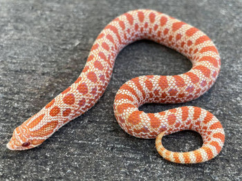 Red Albino Western Hognose Snake for sale