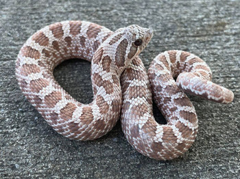 Lavendar Hognose for sale