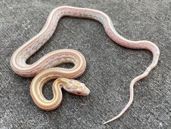 Butter Tessera Corn Snake for sale   Snakes at Sunset