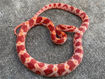 Albino Bloodred Corn Snake for sale | Snakes at Sunset
