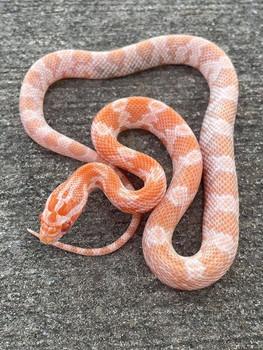 Mandarin Corn Snake for sale | Snakes at Sunset