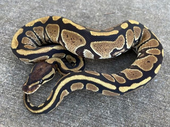Specter  Ball Python for sale