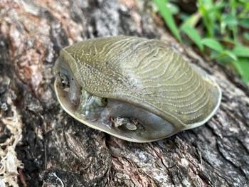 Senegal Flap Shell Turtle for sale