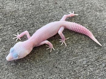 Super Snow Leucistic Leopard Gecko for sale