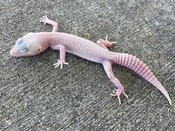 Diablo Blanco Leopard Gecko snake eyes