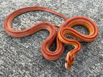 Hypo Striped Corn Snake for sale | Snakes at Sunset