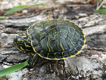 Peninsula Cooter turtle for sale