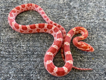 Coral Red Albino Corn Snake for sale