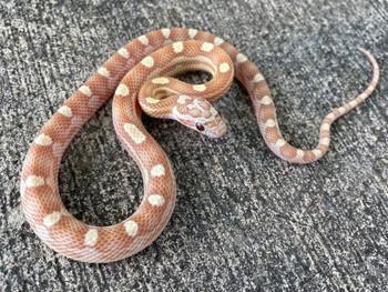 Gold Dust Motley Corn Snake for sale | Snakes at Sunset