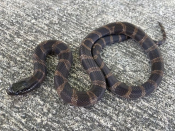 Chocolate Banded California King Snake for sale | Snakes at Sunset
