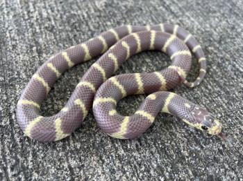Dark Eye Lavendar Banded California King Snake for sale | Snakes at Sunset