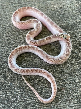 White Sided Brooks King Snake for sale