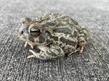 Fowlers Toads for sale