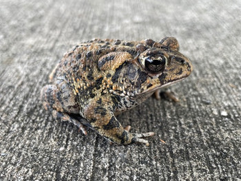 Southern Toads for sale