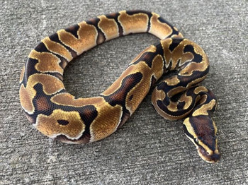 Enchi Ball Pythons for sale (Python regius)