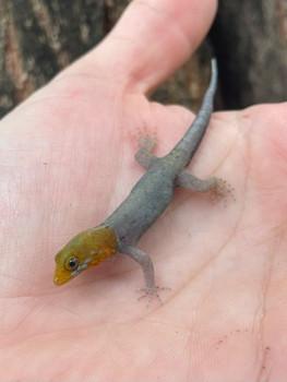 Yellow Head Gecko (Gonatodes albogularis fuscus)