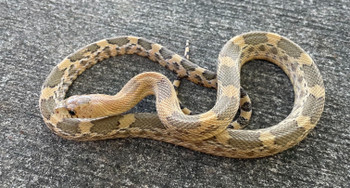 Mexican Pine Snake for sale