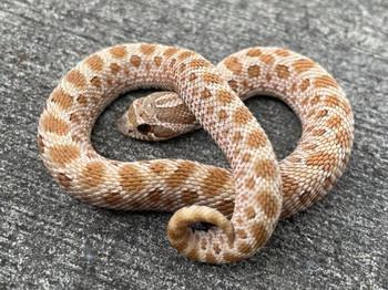 Het for PISTACHIO  Western Hognose Snakes (Heterodon nasicus)