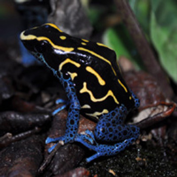 Bakhuis Dart Frogs  For Sale