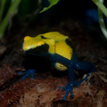 Citronella Dart Frogs For Sale