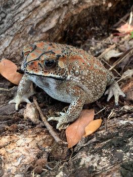 Asian House Toad for sale (Duttaphrynus melanostictus)